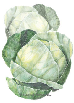 Cabbage Copenhagen Market HEIRLOOM Seeds
