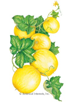 Cucumber Lemon HEIRLOOM Seeds