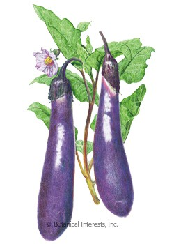 Eggplant Long Purple HEIRLOOM Seeds