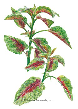 Amaranth Edible Red Leaf HEIRLOOM Seeds