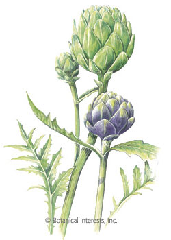Artichoke Green & Purple Seeds