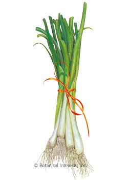 Onion Bunching/Scallion Tokyo Long White HEIRLOOM Seeds