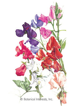Sweet Pea Early Multiflora Blend HEIRLOOM Seeds