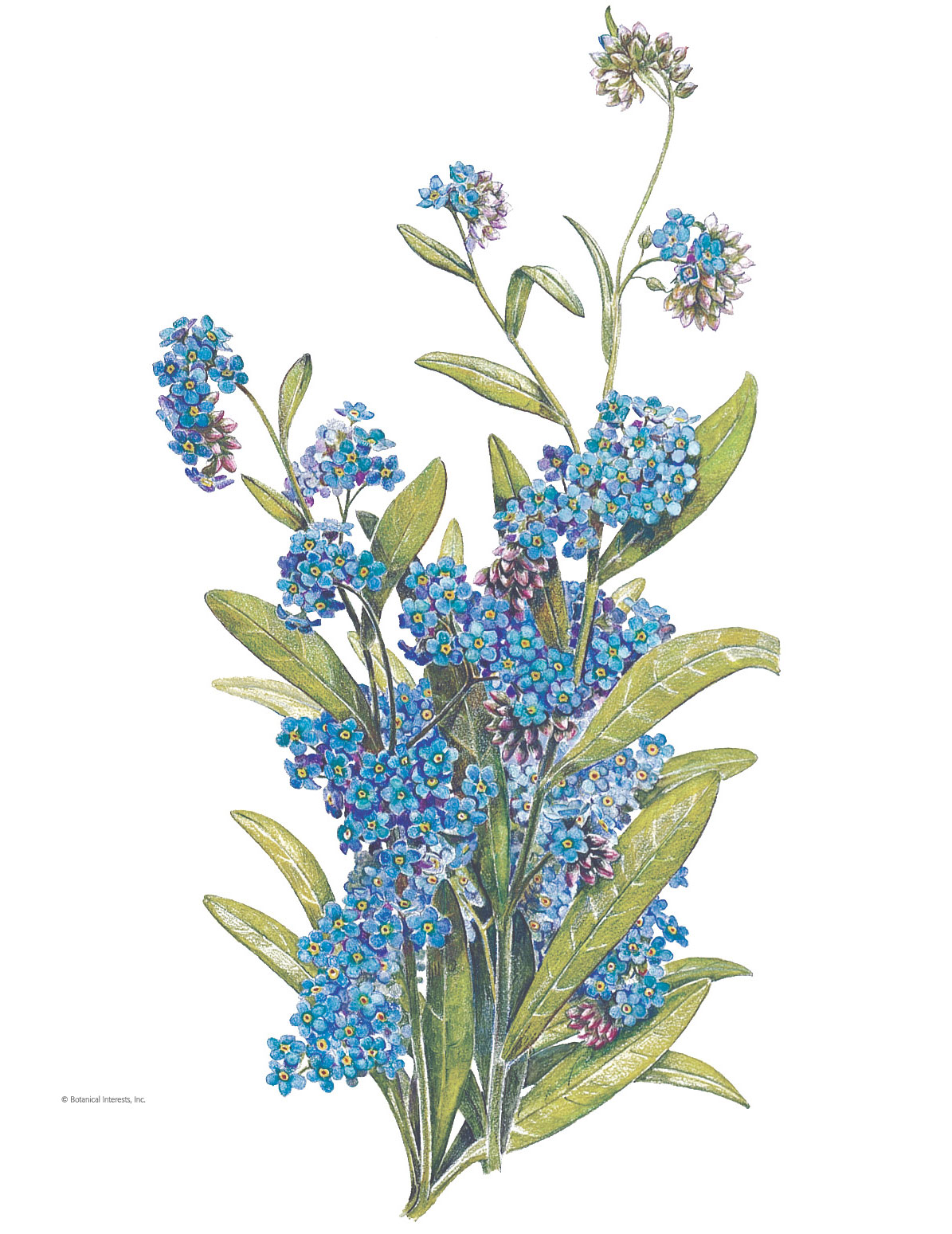 Forget-Me-Not Victoria Blue Seeds