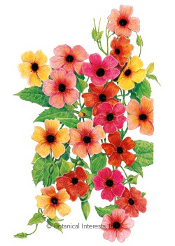 Black-Eyed Susan Vine Spanish Eyes Seeds