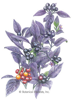 Ornamental Pepper Black Pearl Seeds