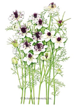 Love-In-A-Mist Chocolate and Cream Seeds