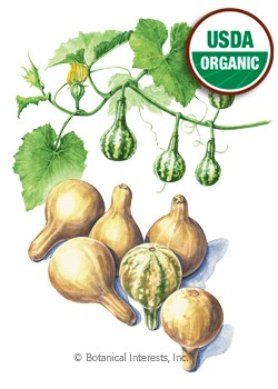 Gourd Hard Shelled Spinning Organic HEIRLOOM Seeds