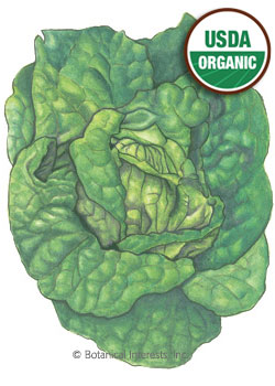 Lettuce Butterhead Buttercrunch Organic HEIRLOOM Seeds