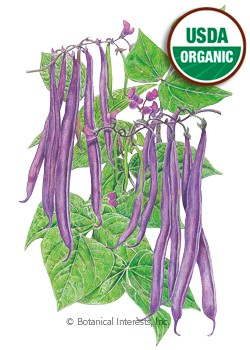Bean Bush Royal Burgundy Organic Seeds