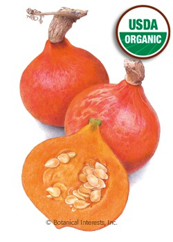 Squash Winter Red Kuri Organic HEIRLOOM Seeds