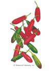 Pepper Chile Serrano Tampiqueno HEIRLOOM Seeds