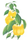 Pepper Sweet Canary Bell Seeds