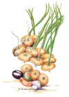 Onion Cipollini Borettana HEIRLOOM Seeds