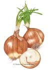 Onion Bulb Yellow Sweet Spanish Utah Seeds