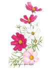 Cosmos Sensation Blend HEIRLOOM Seeds