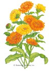 Calendula Pot Marigold Pacific Beauty Blend HEIRLOOM Seeds