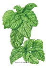 Basil Lettuce Leaf HEIRLOOM Seeds