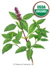 Basil Thai Sweet Thai Organic HEIRLOOM Seeds